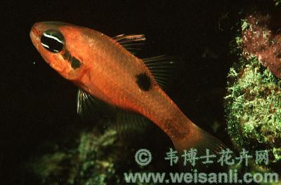 斑纹天竺鲷