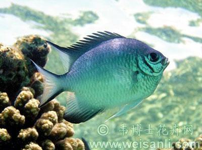 白腹凹牙豆娘鱼