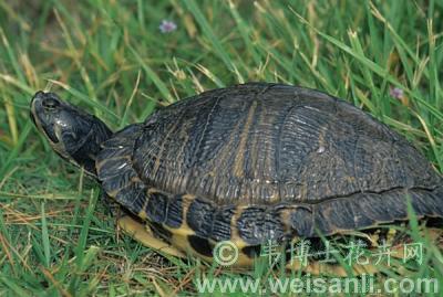 密西西比红耳龟