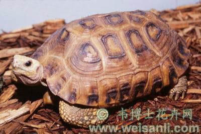 特拉凡柯陆龟