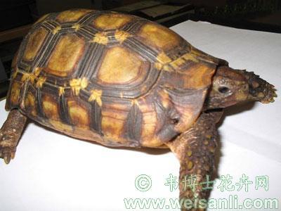 钟纹折背陆龟