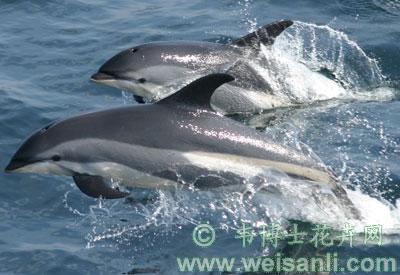 大西洋斑纹海豚