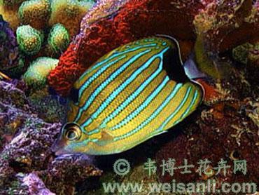 蓝纹蝴蝶鱼