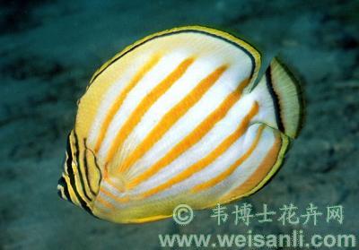 橙带蝴蝶鱼