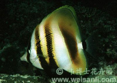 褐带少女鱼