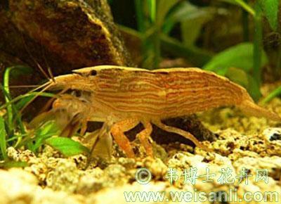 摩鹿加拟匙指虾