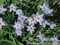 单花紫星花