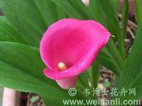 红苞马蹄莲