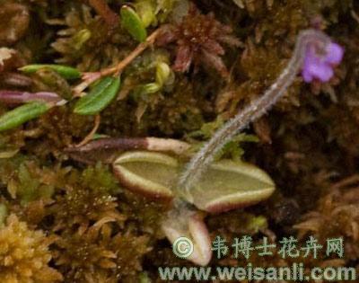 绒毛捕虫堇