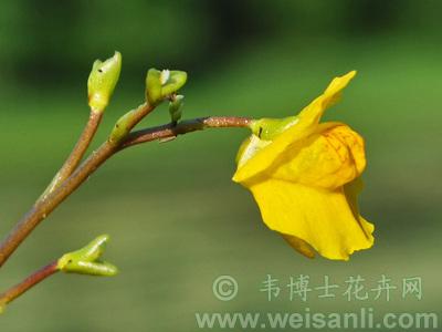 茎刺藻属_韦博士花卉网 - 专业花卉网站