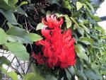 红花油麻藤