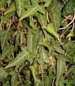 尼泊尔常春藤