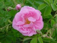 大马士革蔷薇
