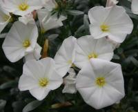 橄榄叶旋花
