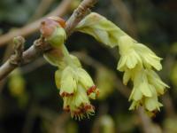 穗序蜡瓣花