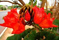 钟花苞萼木