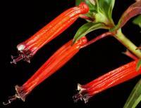 火红萼距花