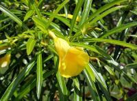 秘鲁黄花夹竹桃