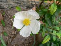 月桂叶岩蔷薇