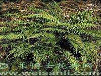 尾状弓锯蕨