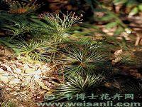 二岐莎草蕨
