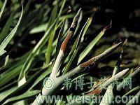 维奇鹿角蕨