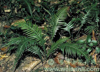 糙叶弓锯蕨