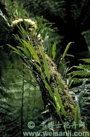泡状小孢蕨