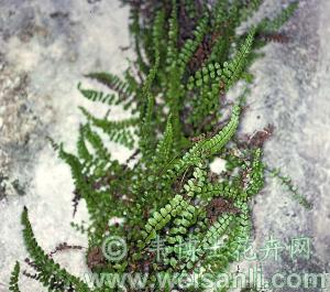 毛孢铁角蕨