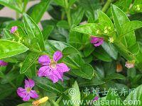 神香草叶萼距花