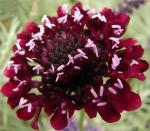 黑紫蓝盆花