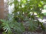 羽裂喜林芋