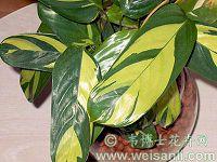 黄斑栉花竹芋