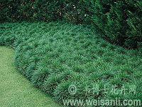 日本沿阶草