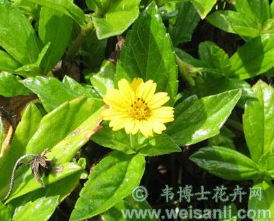 三裂蟛蜞菊