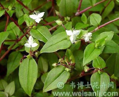白花紫露草