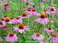 紫花松果菊
