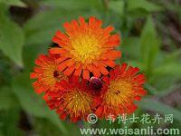 橙黄山柳菊