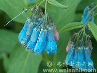 大叶滨紫草