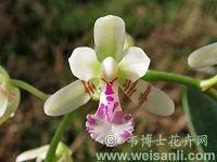 日本萼脊兰