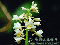 狭叶虾脊兰