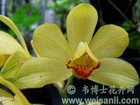 黄花鹤顶兰