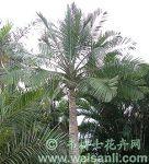 蓝绿国王椰