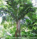 虎斑山槟榔