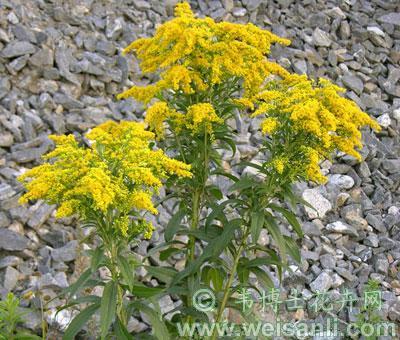 加拿大一枝黄花