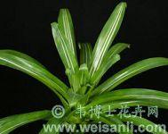 花叶绿花铁兰