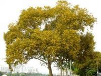 台湾相思树
