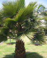 华盛顿棕榈
