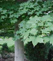 元宝枫 Acer truncatum