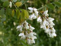 刺槐 Robinia pseudoacacia